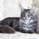 Description and content of gray maine coons