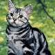 Description of American cat breeds and their content