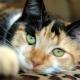 Description breeds and content tricolor cats