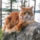 Main colors of Maine Coon