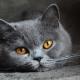 תכונות אופי של חתולים בריטים