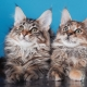Features Maine Coon haircut