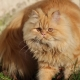 Persian cat: description, character, types and recommendations for care