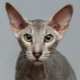 Peterbald: description of the cat breed, nature and content