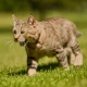 Pixybob: features of the breed of cats and their conditions