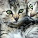 Striped cats: features, breeds, selection and care