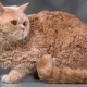 Breeds of curly cats and their conditions