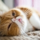 The origin of the exotic breed of cats, care and breeding