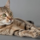 The origin, description and content of the Egyptian Mau cats