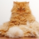 Red Persian cats: characteristics and features of care