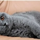 חתולים אפורים בריטים: תיאור וכללי הטיפול