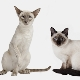 Similarities and differences of Siamese and Thai cats