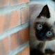 Siamese cats: features and character