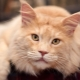How many years did Maine Coons live and how to prolong their life span?