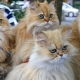 How many persian cats live?