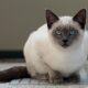 How many Siamese cats live and what does it depend on?