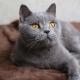 רשימת השמות של חתולים אפורים בריטים