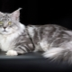Comparison of Maine Coon with ordinary cats