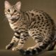 All, that need to know about cats breed Allerka