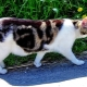 All you need to know about cats breed Manx