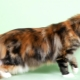 Everything you need to know about tortoiseshell Maine Coons