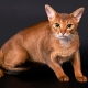Everything you need to know about Abyssinian cats and cats