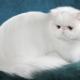 All about white Persian cats and cats