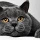 הכול על חתולים וחתולים בריטיים