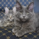All about Maine Coon blue color