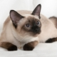 Choosing a name for Siamese cats