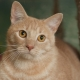 Asian tabby: description of the breed of cats and the rules of