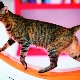 Running wheels for cats: selection and training