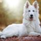 Fehér svájci juhászkutya: fajta leírás és tenyésztés