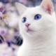 White cats with blue eyes: is deafness characteristic of them and how are they?