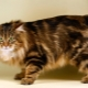Tailless cats: popular breeds and their content rules