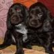 Černý ruský kokršpaněl: popis psů, jejich povaha a pravidla péče