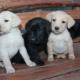 A Labrador kiskutyák jellemzői és gondozása 1 hónap