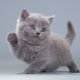 How to name a gray kitten: a list of names for cats and cats