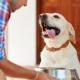 Mi a legjobb takarmány a Labrador etetésére?
