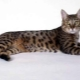 California shining cat: breed description and rules of care