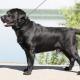 Törpe Labrador: hogyan kell megnézni és hogyan kell törődni vele?
