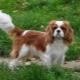Kavalír King Charles Spaniel: vše, co potřebujete vědět o plemeni psa