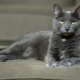 Kora cat: origin, characteristics, care