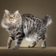 Bobtail cats: characteristics, colors and care