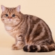 Tabby cats: wool patterns and breed list