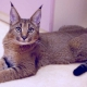 Lynx-like cats: features and popular breeds