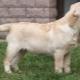 Labrador 4 hónapos korban: hogyan néz ki, és hogyan kell tartalmaznia?