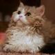 Lambkin: breed description, feeding and care