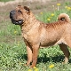 سلالات الكلاب Sharpei: أنواع ومحتوى الكلاب