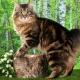 Description and content of Kurilian Bobtail cats